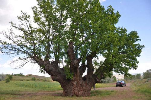 Çankırı'nın Anıt Ağaçları
